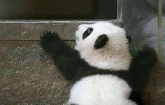 Panda...
