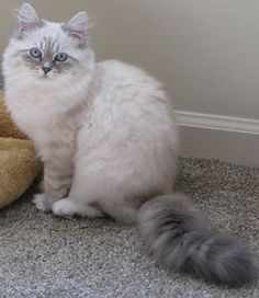 Saban - Born 5/9/16 - Siberian Forest Kitten - Siberian Cat