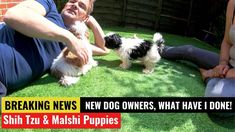 The malshi and Shih Tzu Oreo and Chucky, After 20 long years of My Wife wanting a Dog we end up getting two puppies and are now first time dog owners! Little Dogs, Big Dogs, Shih Tzu Temperament, Puppy Cut, Types Of Dogs, Lhasa Apso, Shih Tzus, Pekingese, Dark Eyes