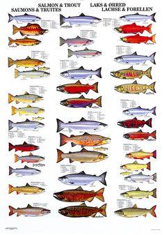 Salmon and trout. Beautiful . Courtesy of Scandinavian Fishing Year Book