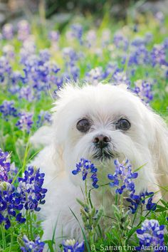 Texas Bluebonnet photos with your pets!