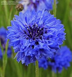 Bachelor's Button, Cornflower Blue  One of my memories of childhood.  Thought they were so pretty.