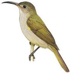 Western Olive Sunbird (Cyanomitra obscura)