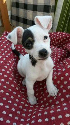 This Is My Dog Babie She Is A Jackawawa Jack Russel Cross