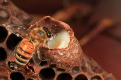 A bee inspects a royal cell filled with royal jelly. Royal jelly is essential for the development of a colony. This secretion mixed with pre-digested pollen is produced by the pharyngeal glands of the young nursing bees. It is an exceptional nutrient allowing bee larvae to grow at a pace with no equivalent in the rest of the animal kingdom. #bees