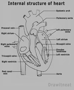 Human Heart Drawing With Labels Hhd03 Bio And Nursing Related