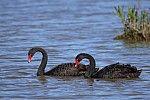 Cisne negro - cygnus atratus