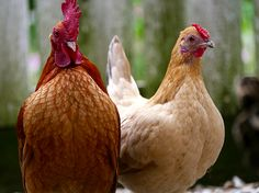 A Rooster And Hen by Rachel Morrison