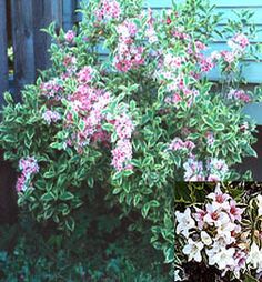 Weigela Variegated,  We love the color, How about you?    We offering a new customer special 10% off all new orders using coupon code gardening. On our site below $11.95     www.bulbsnblooms.com