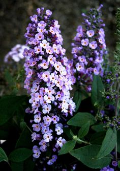 to Care for Butterfly Bushes These colorful flowering shrubs are easy to care for and a favorite of gardeners and butterflies alike.These colorful flowering shrubs are easy to care for and a favorite of gardeners and butterflies alike. Garden Shrubs, Lawn And Garden, Garden Plants, Garden Landscaping, Landscaping Ideas, Sun Garden, Garden Club, Flowering Bushes, Trees And Shrubs