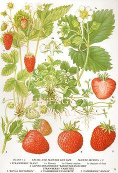 Vintage antiguo de impresión botánico FRESAS, planta botánica la impresión lámina bookplate, frutales de baya fresa planta pared