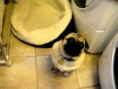 Willful pug DOES not want to get in his bed! Do you not realize they're companion dogs who don't take well to isolated sleeping quarters? Royalty! Hello!