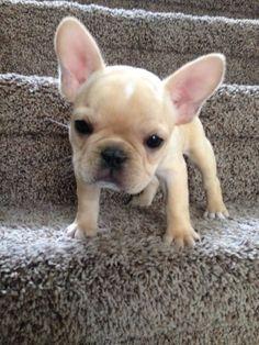 French Bulldog puppy!                                                                                                                                                                                 More