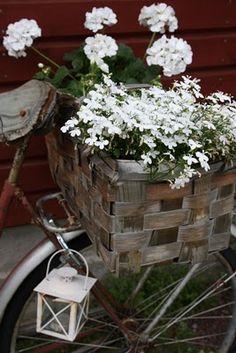 Beautiful white Geraniums and white trailing Lobelia