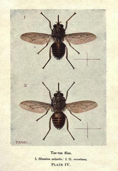 Tse-tse flies. 1, Glossina palpalis; 2, G. morsitans. PLATE IV.