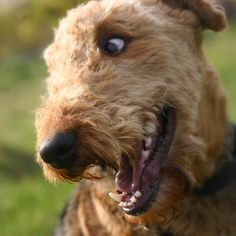 Fun, fun, fun! Non-stop fun! Airedales are energetic bouncy dogs who love playing. With anyone they can get their paws on!
