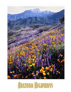 Poppies, Gilia and Lupines, Arizona Highways