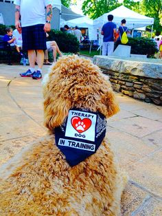 Therapy dog training at Roswell Arts Festival.  Indy the Goldendoodle.