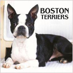 boston terrier | boston terrier - Boston Terriers Photo (3745370) - Fanpop fanclubs