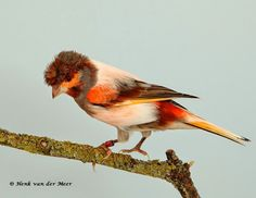 Pretty Birds, Beautiful Birds, Canary Birds, Serin, Goldfinch, Exotic Birds, Bird Feathers, Animals And Pets, Wildlife