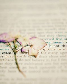Dried flower, book photograph,white, girly, wall art, botanical, still life, cottage chic, pressed flower,  romantic, hydrangea, 8x10 print