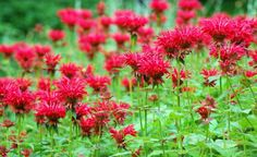Monarda Didyam or Bee Balm is an excellent perennial for gardens for its aromatic leaves and fragrant flowers. Description from pinterest.com. I searched for this on bing.com/images