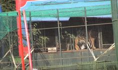 #Act4Wildlife Chipperfield lions & tigers left behind by broken government promises.  The miserable incarceration of Britain's last circus lions and tigers. ADI's undercover investigators found: Thomas Chipperfield's big cats confined to cages on trucks with restricted access to exercise area; 'stereotypic' pacing – sign of stress and boredom; lions and tigers locked behind heavy steel shutters at night. 34 countries have introduced wild animal act prohibitions - England, Scotland and Wales…
