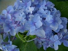 The Best Time to Plant Hydrangeas- Early summer or Late Fall
