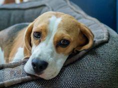 Beagles, Cute Animals, Games, Dogs, Pretty Animals, Cutest Animals, Beagle, Cute Funny Animals, Gaming