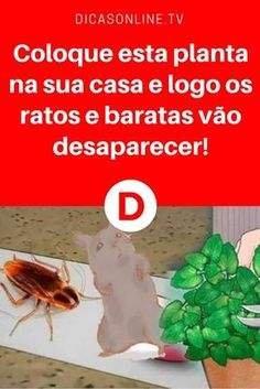 Combater ratos | Coloque esta planta na sua casa e logo os ratos e baratas vão desaparecer! | Solução barata, natural e eficaz para seus problemas com ratos e baratas. Aprenda ↓ ↓ ↓