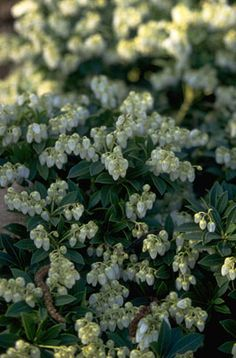 Pieris japonica 'Cavatine' - Partial shade - Pieris are compact evergreen shrubs with leathery, dark green leaves, often brightly coloured when young, and small white urn-shaped flowers borne in panicles in spring