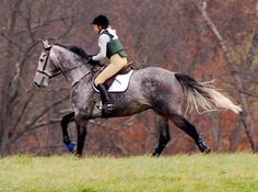 draft thoroughbred cross | Percheron/Thoroughbred cross. If i ever get another horse...