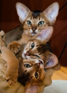 These Abyssinian kittens are to die for!!