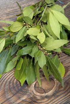 Laurus Nobilis, Laurel Plant, Plant Projects, Laurel Leaves, Plantar, 2d, Plant Leaves, Vegetables, World