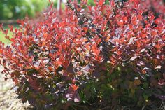 Find out what plants thrive well in clay soil from the experts at HGTV Gardens. Clay Soil Plants, Planting In Clay, Planting Shrubs, Flowering Shrubs, Garden Plants, Evergreen Bush, Evergreen Shrubs, Garden Show, Dream Garden