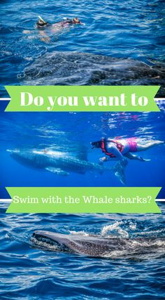 Bucket List Adventure, Swimming With The Whale Sharks. Click to read more at http://www.divergenttravelers.com/whale-sharks-cancun-mexico/