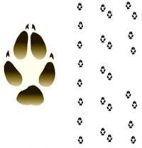 líška hrdzavá - stopy