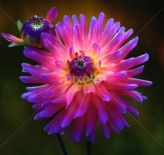 Dahlia, The bi g and the small one by Carl Sieswono Purwanto - Nature Up Close Flowers - 2011-2013 ( blue, orange. color )