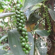 Black Pepper Essential Oil Organic