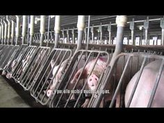 Investigación encubierta en granja de cría intensiva de Smithfield Foods