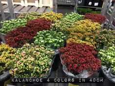 #Kalanchoe 4 colors; Available to www.barendsen.nl