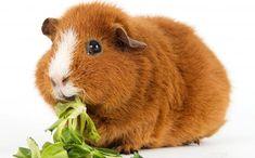 Sağlıklı Guinea Pig Kilosu ve Kilo Kontrolü  Ginepig ideal kilosu ve çok daha fazlası hakkında bilgi almak için yazımızı ziyaret edebilirsiniz.
