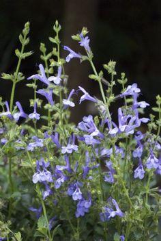 Plant Growers Australia Pty Ltd  salvia african sky