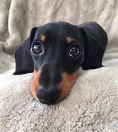Find the best dachshund accessories for dogs. Functional and unique accessories and pet supplies specially designed for dachshunds. Dachshund Puppies, Weenie Dogs, Dachshund Love, Cute Dogs And Puppies, Doggies, Dachshund Tattoo, Dachshund Shirt, Dapple Dachshund, Chihuahua Dogs