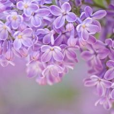 The delicate flowers of lilacs can decorate your home when properly preserved.