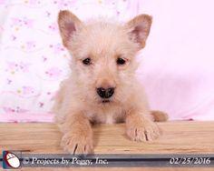 Martin's Kennel :: Scottish Terrier