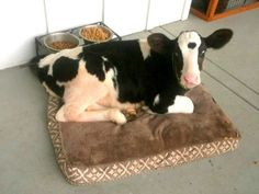 Baby Calf Rescued From Slaughterhouse Thinks He's A Dog