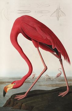 Birds of America from Audubon -