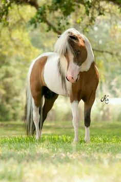 Mini Horses...not ponies on Pinterest | Miniature Horses ...