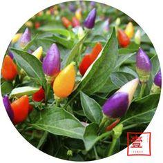 Ótimo Complemento para O Seu Jardim Ornamental Pimenta Sementes de Hortaliças(China (Mainland))